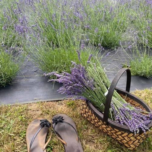 """How One of NH's Only """"U-Pick"""" Lavender Farms Came to Life – and Why You've Got To Go Check It Out"""
